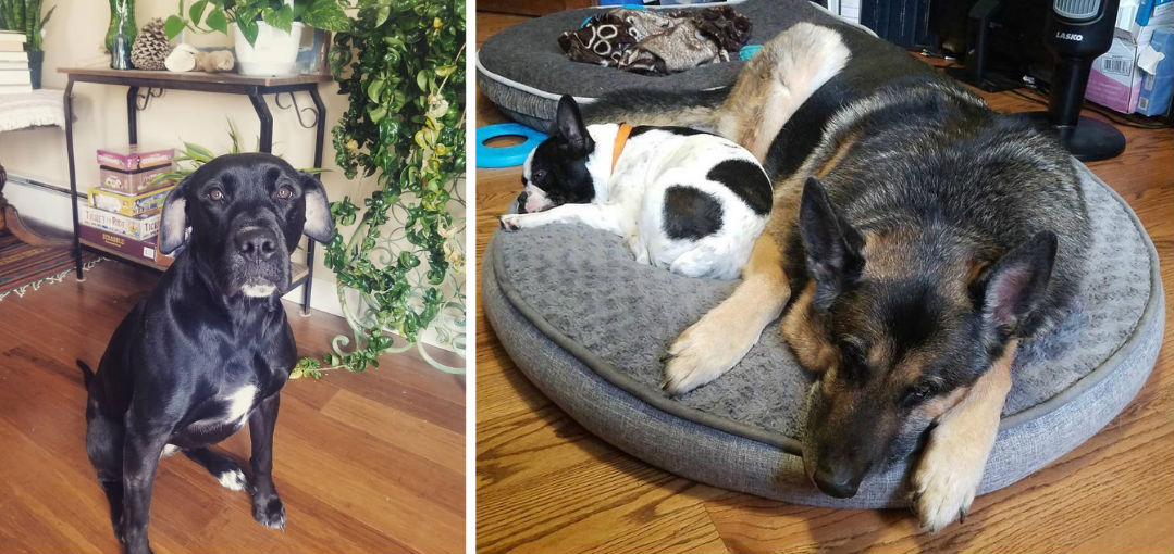 Cute black dog looks up at pet sitter at home in Seattle, two others sleep on bed